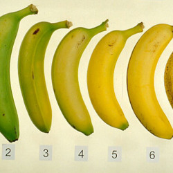 stages-of-banana3